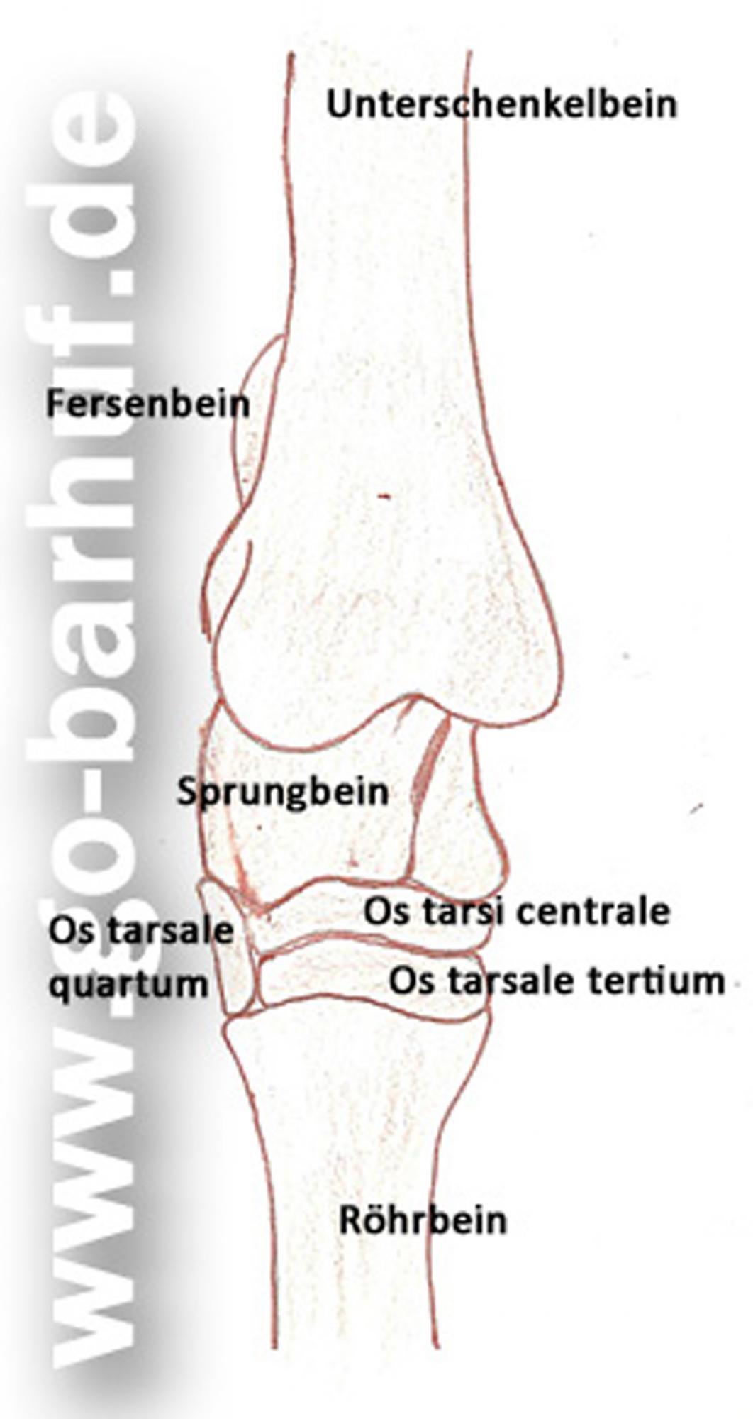 Erfreut Pferd Bein Anatomie Ideen - Anatomie Ideen - finotti.info